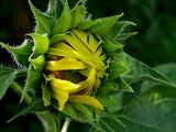 5-5-2010 Sunflower 3.jpg