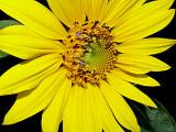 5-6-2010 Sunflower 6.jpg