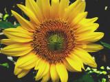 5-26-2010 Sunflower.jpg