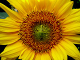5-26-2010 Sunflower 1.jpg