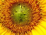 5-26-2010 Sunflower 2.jpg