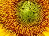 5-26-2010 Sunflower 3.jpg