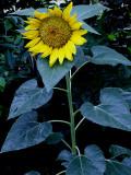 6-4-2010 Sunflower 1.jpg