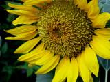 6-4-2010 Sunflower 2.jpg