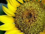 6-4-2010 Sunflower 4.jpg