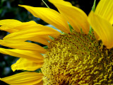 6-4-2010 Sunflower 5.jpg