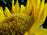 6-4-2010 Sunflower 6.jpg