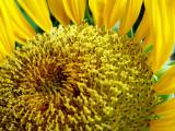 6-4-2010 Sunflower 7.jpg