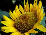6-4-2010 Sunflower 8.jpg