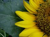 6-4-2010 Sunflower 9.jpg