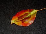 Pear Tree 11-2007c.jpg
