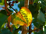 Pear Tree 11-2007e.jpg