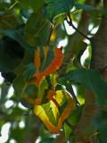 Pear Tree 11-2007f.jpg