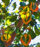 Bradford Pear Tree 11-2007.jpg