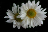 White Daisies.jpg