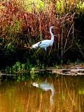 White Egret in Salado Creek.jpg