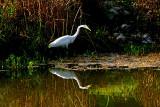 White Egret in Salado Creek 2