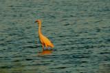 Egret in Rosy Sunset Light.jpg