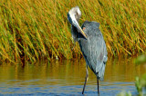 Great Blue Heron Twist.jpg