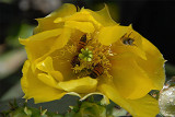 Bees Collecting Pollen on Cactus Flower 8