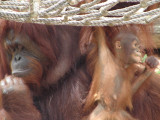 Bornean Orangutan and baby