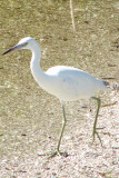 Little Blue Heron (Youth)