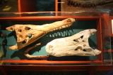 Alligator and Crocodile Skull