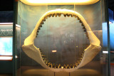 Great White Jaw