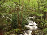 Stream and Dogwoods