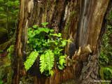 Fern in Tree
