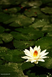 Lotus in Lake Sebu, South Cotabato
