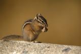 Ground Squirrels and Chipmunks