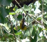 Big Bend rarity --  Blue-winged Warbler