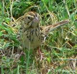 Big Bend rarity -- Baird's Sparrow