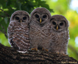 Barred Owl young