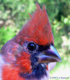 Northern Cardinal -- young male