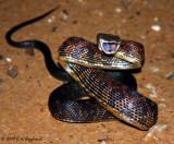 Texas Ratsnake (Pantherophis obsoletus)