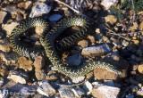 Speckled/Desert Kingsnake (Lampropeltis getula)