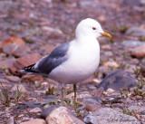 Mew Gull (adult, breeding)