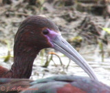 Hybrid Glossy/White-faced Ibis