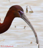 Hybrid Glossy/White-faced Ibis 5685