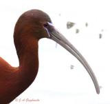Uncertain status ibis 5593