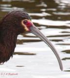 Uncertain status ibis 5551