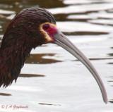 Uncertain status ibis 5552
