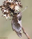 Yucca Giant-Skipper (Megathymus yuccae)