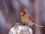 Cardinal femelle, Boisé Papineau, Laval