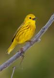Paruline jaune,  Île St-Bernard