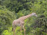 Giraffe having their Christmas breakfast 4.jpg