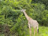 Giraffe having their Christmas breakfast 5.jpg