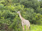 Giraffe having their Christmas breakfast 6.jpg